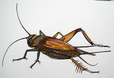 House cricket drawing