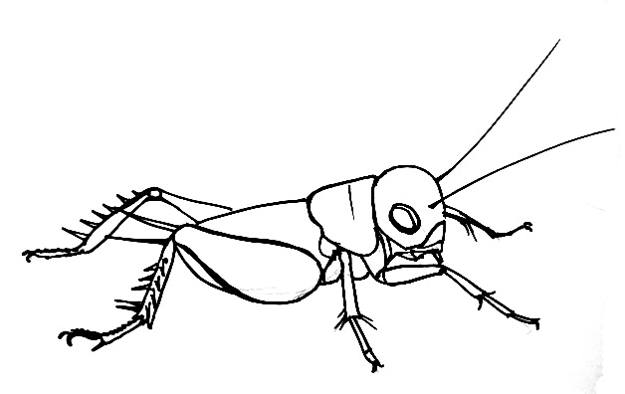 field Cricket drawing 49