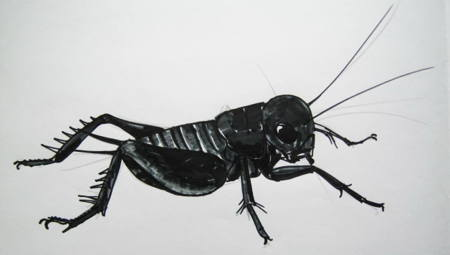 Field Cricket drawing