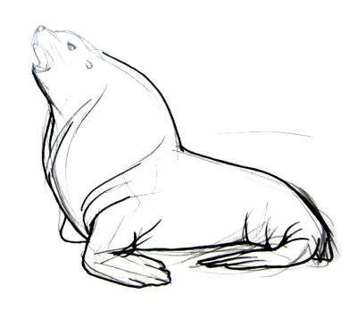 Sea lion drawing 13