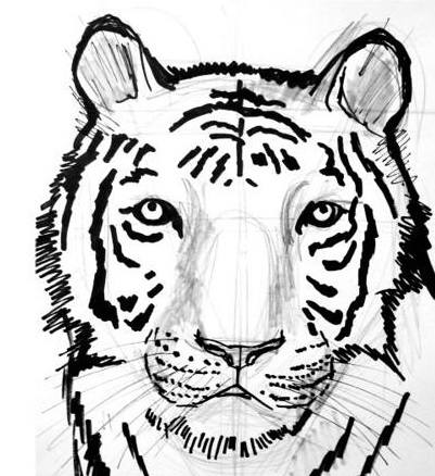 Tiger face and head drawing