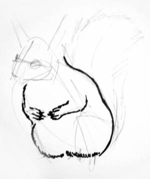 Squirrel torso drawing