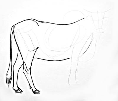 Zebu hind legs drawing