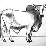 How to draw a Zebu Cattle