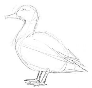 Domestic duck pencil drawing
