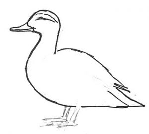 How to draw a domestic duck