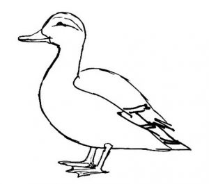 Domestic Duck line drawing