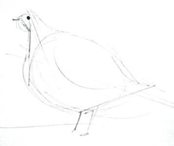 Grey partridge pencil sketch