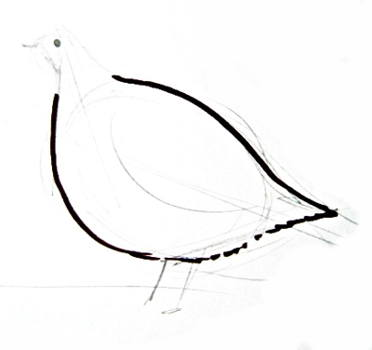 Grey partridge torso drawing