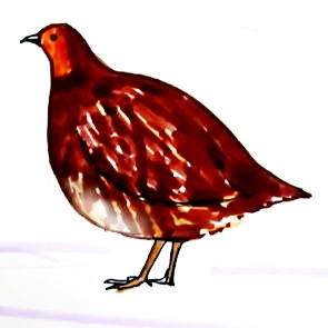 Partridge drawing
