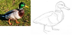 How todraw a male duck
