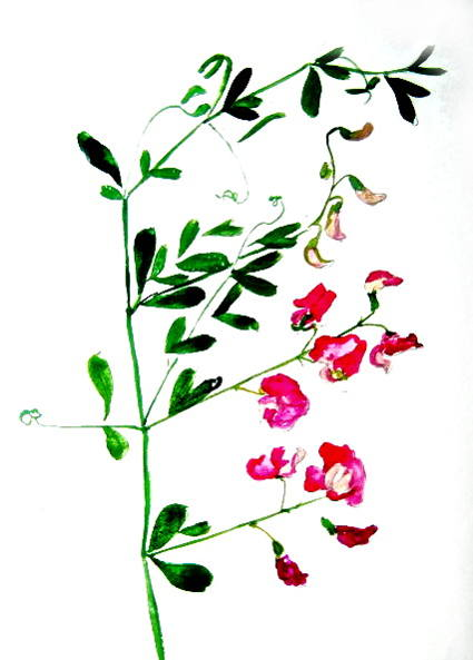 Sweet peas drawing