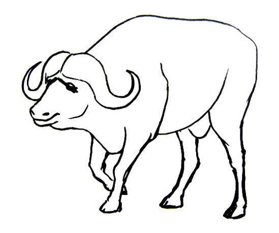 African buffalo drawing