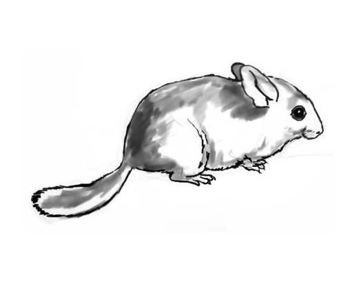Chinchilla drawing 13