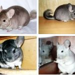 How to draw a Chinchilla tutorial
