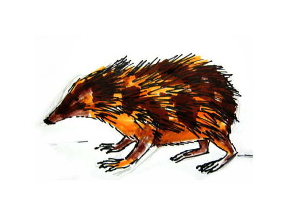 Tenrec drawing