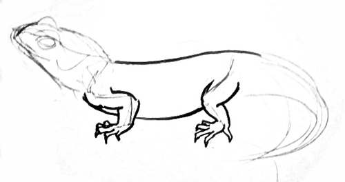 Tuatara phased drawing