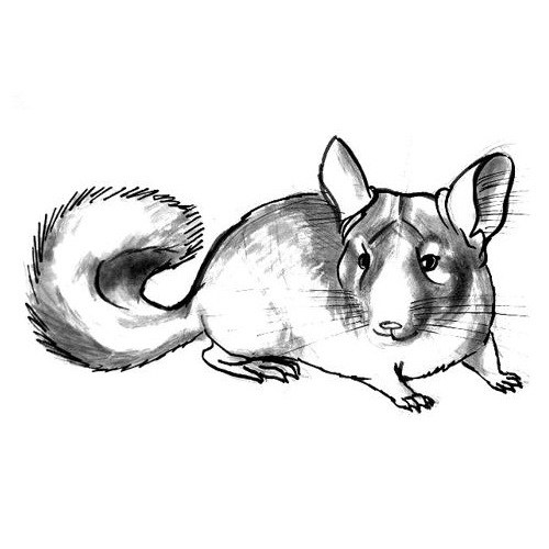Chinchilla drawing step by step