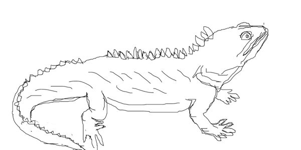 Tuatara drawing