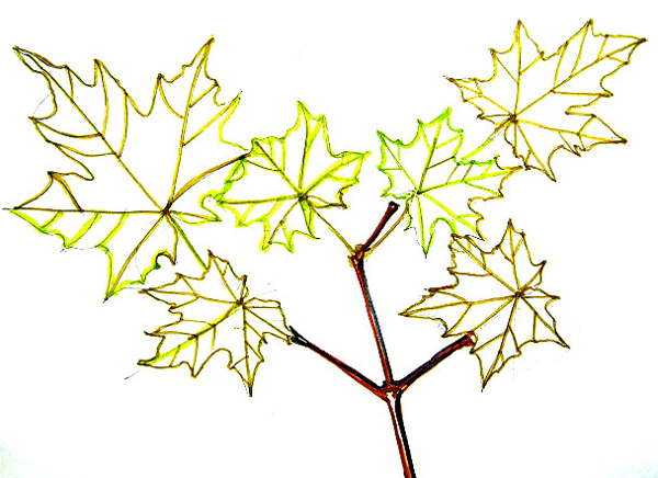 Maple tree  leavesdrawing