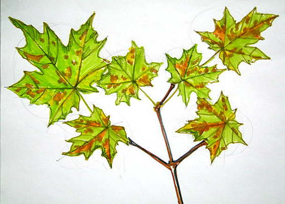 Maple tree branch with leaves drawing