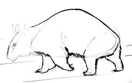 Wombat staged drawing