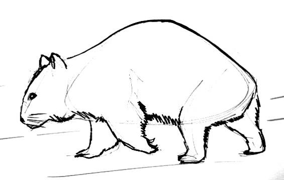 Wombat drawing 13