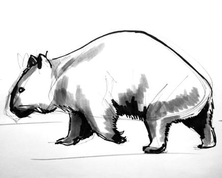 Wombat drawing 49