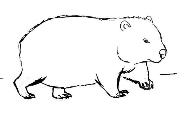 wombat drawing