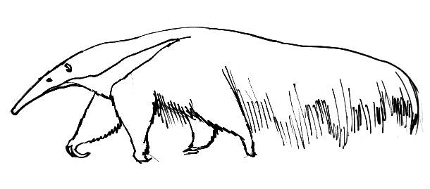 Anteater line drawing