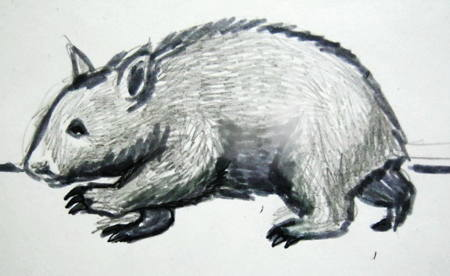 Young wombat drawing