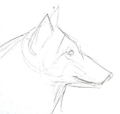 Wolf face pencil sketch