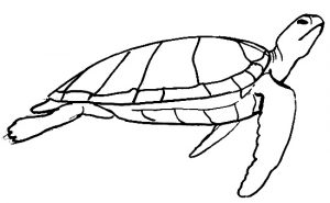 Sea Turtle side view drawing