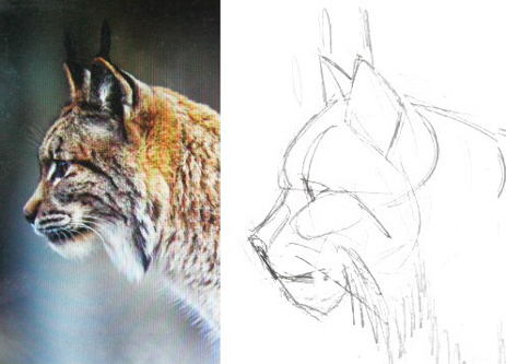 Lynx head in profile drawing