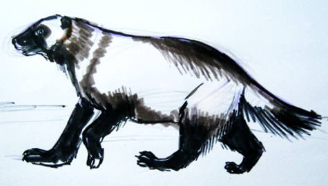Wolverine-animal drawing