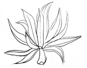 Agave drawing lesson