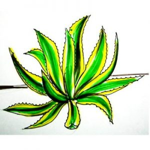 Realistic Agave colored drawing