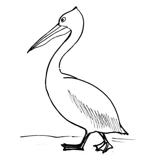 Pelican drawing-13