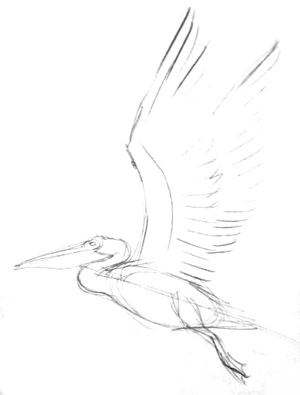Flying Pelican sketch