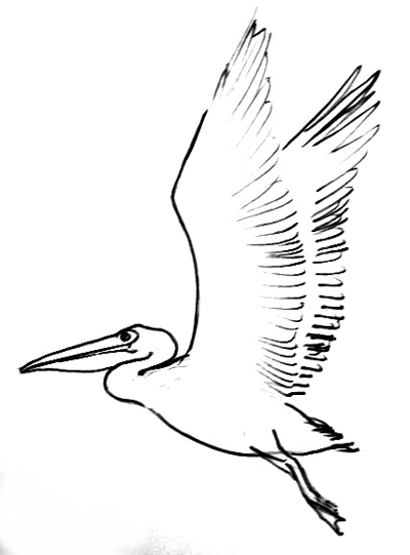 Flying Pelican line drawing