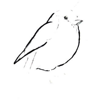 Bullfinch drawing step by step