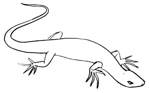 Lizard line drawing