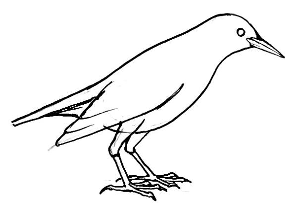 Starling line drawing