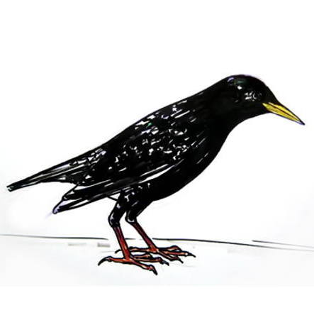 Starling colored drawing