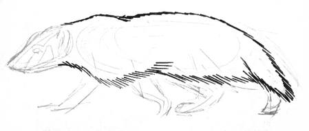 American badger drawing -2