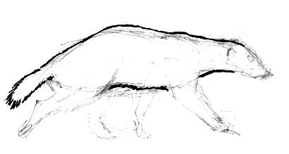Honey badger  body drawing