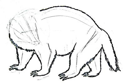 Badger drawing -13