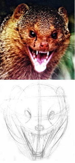 Mongoose head drawing