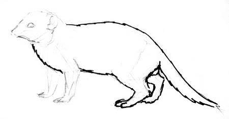 Halogale mongoose drawing tutorial