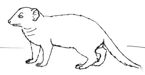 Dwarf mongoose line drawing